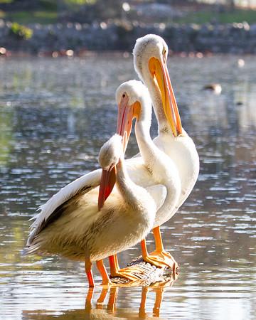 Pelicans Show Up