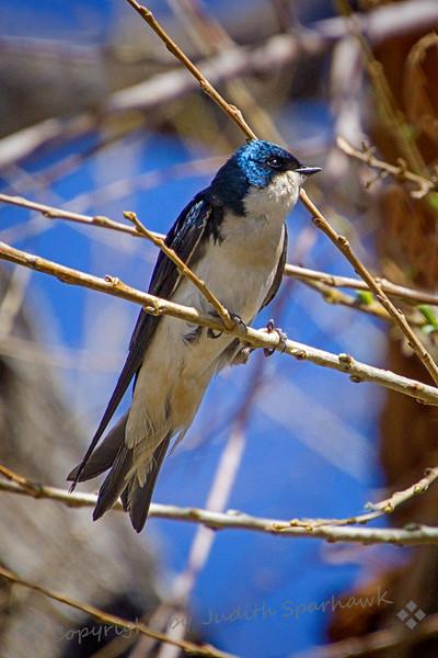Tree Swallow - Judith Sparhawk