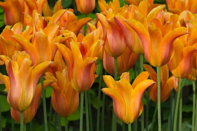 """Tulipa """"Ballerina"""""""