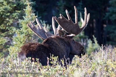 Brainard Lake Moose 08-24-2014