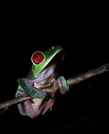 Amphibians CR  (20+ Species)