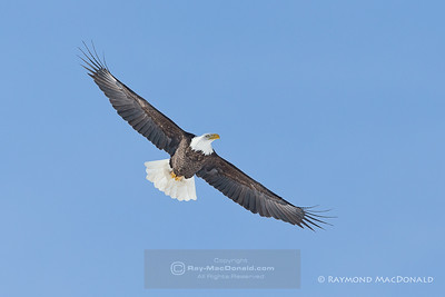 Bald Eagle_NH-2