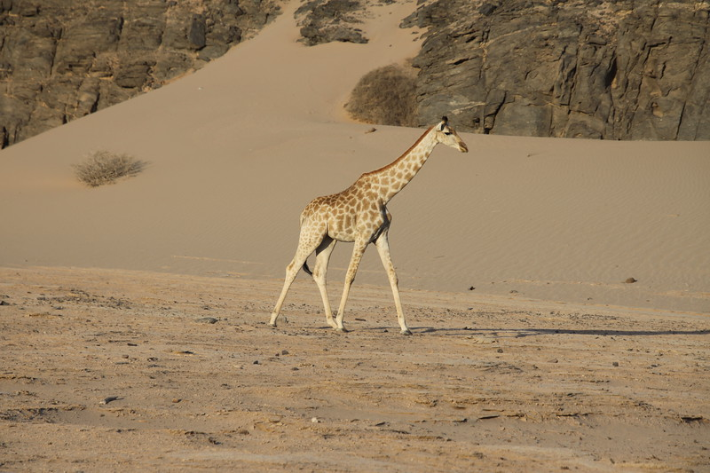 Southern Giraffe in desert