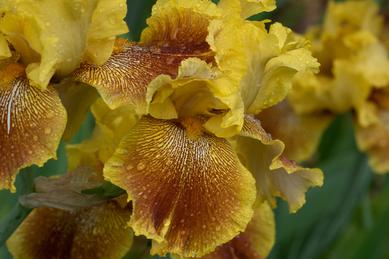 Arboretum Flower Iris-06440.JPG