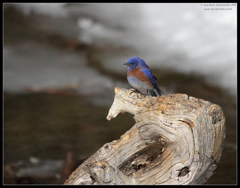 Western Bluebird male, Mt. San Jacinto State Park, Palm Springs, California, March 2011