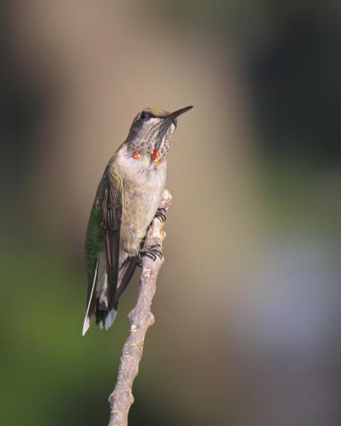 sx50_hummingbird_boas_365.jpg