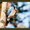 November 1, 2014<br /> <br /> Blue Jay<br /> <br /> (305/365)<br /> <br /> Daily theme: Something Blue<br /> #fmsphotoaday
