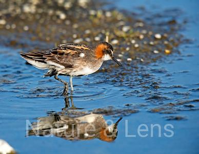 Shore Birds, Other