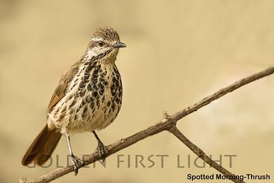 Spotted Morning-Thrush, Kenya