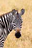 Young zebra looking back in grassy field. Photography fine art photo prints print photos photograph photographs image images artwork.