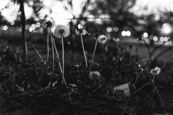 Dandelions 2017