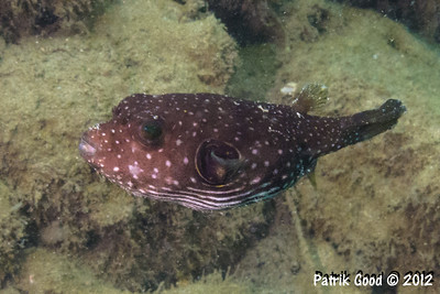 Reticulate Toadfish