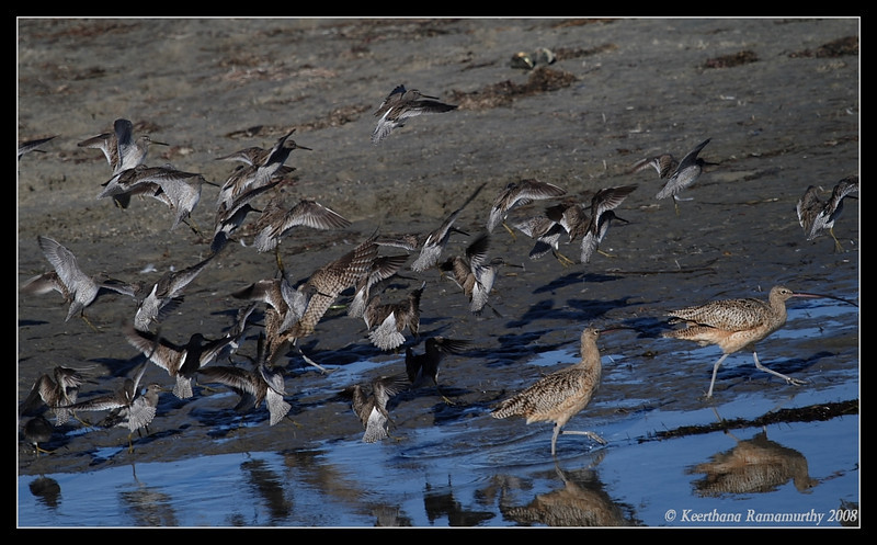 Short-Billed Dowitchers Landing, Robb Field, San Diego County, California, December 2008