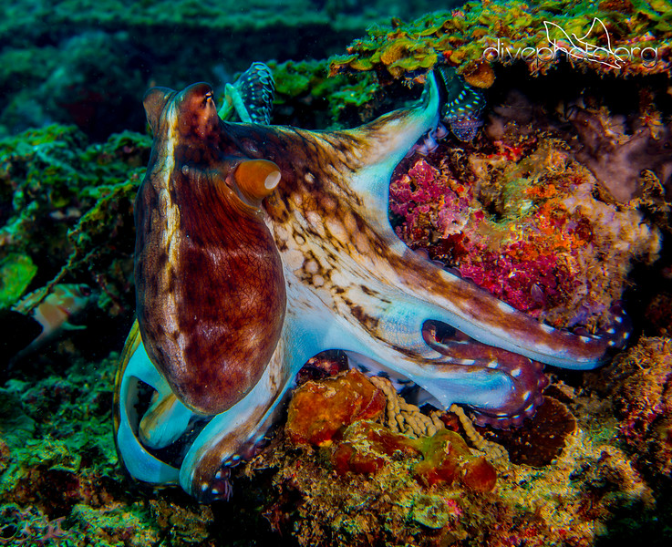 Giant octopus off Borneo