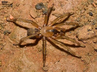 Idiopidae (Armored Trapdoor Spiders)