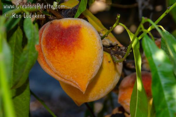 Frost Peach - Prunus persica sp.