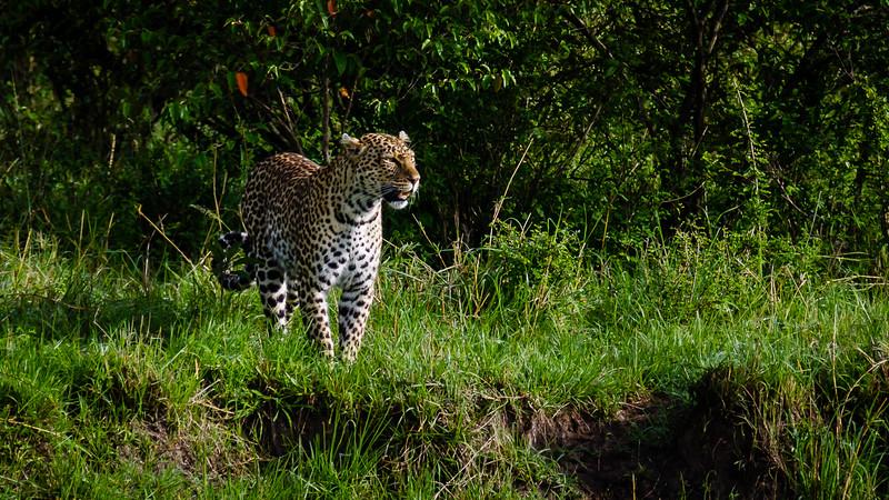 Leopards-0102.jpg