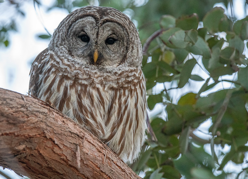 20200112Barred Owl 1-12-20DSC_4171.jpg