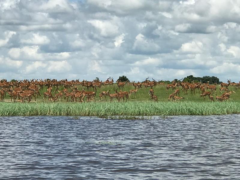 Impala herd on Chobe - Lisa Swenson