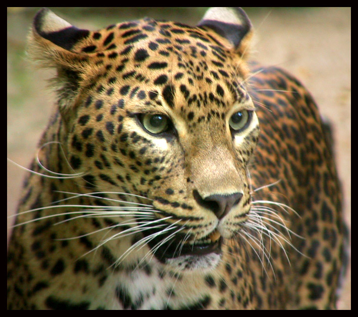 leopardiìo.jpg