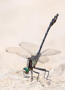 Black-shouldered Spinylegs (Dromogomphus spinosus)