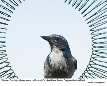 Jays,  Crows, Allies