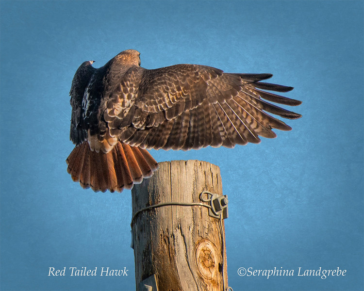 _DSC9071Red tail Hawk.jpg