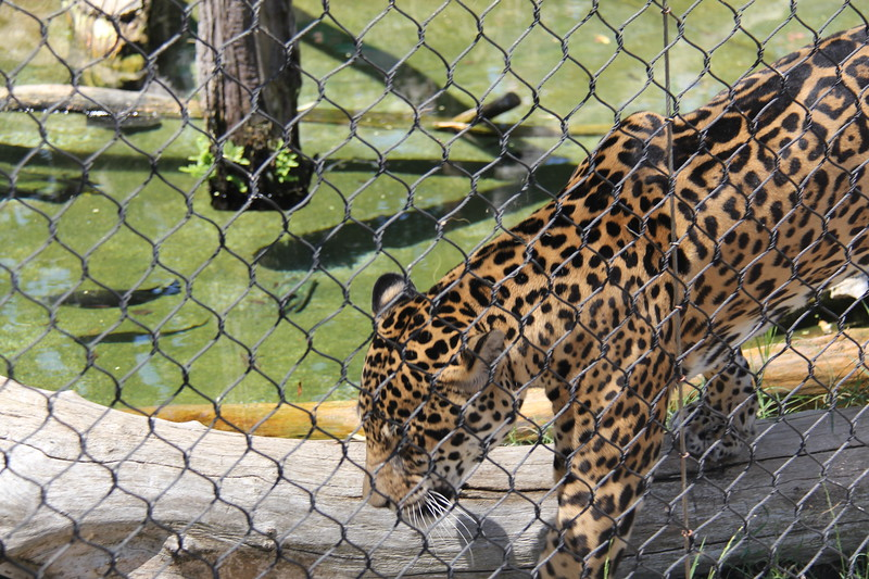 20170807-095 - San Diego Zoo - Leopard.JPG