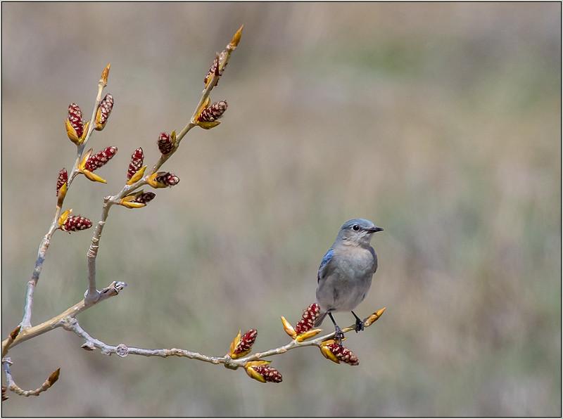 105.Joyce Burzloff .1.Western Blue Bird.jpg