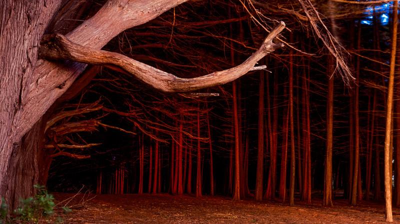 Trees, Fitzgerald Marine Reserve, California, 1993