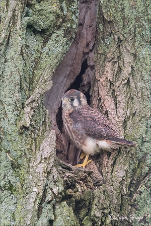Backyard Kestrel Family