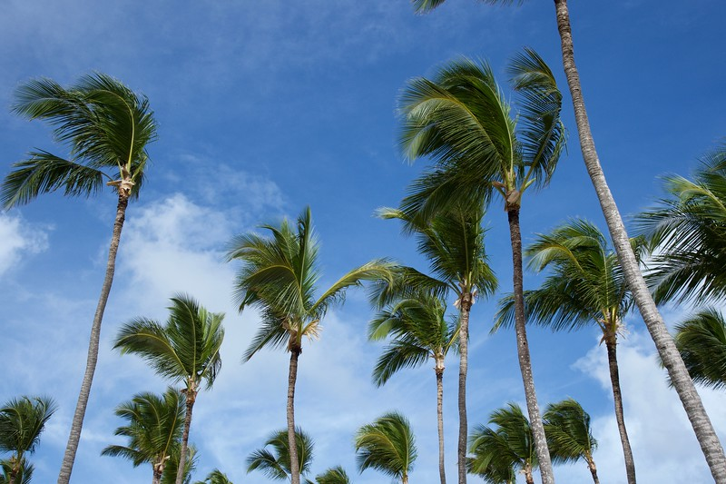 Palm Trees sway in breeze Punta Cana DR.jpg