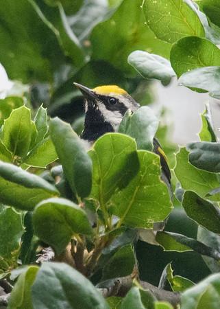 Golden-winged Warbler @ Presidio Park 6/4/19