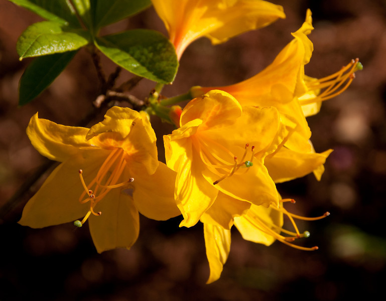 14 May 12.  With the last few days of warm weather coupled with the rains that have preceded them, the azaleas and rhododendrons are putting on quite a show all over the greater Puget Sound area. You pick a color and it is likely that you can find it on one or more plants. We picked a vibrant yellow color for our laundry room and have a potted azalea to match it. The azalea came first, been with us for a couple of years and, in fact, we purchased it for the new home, so we are just a bit behind schedule if calculated by the plants that have been growing in the yard that were/are to be a part of the new landscape. In the middle of last week the specimen in our yard was looking particularly nice, especially with the evening light shining through its petals. With a slight breeze accompanying the light, I shot it at a shutter speed I hoped would stop any unwanted movement and elected a moderate depth of field (dof) to control where your eye would fall on the image. Being a close-up type of shot, the f stop used provided for less dof than you might otherwise expect at f/10.  My intent was to draw your eye to the green stigma, a color I can't say I've seen on all that many stigma.  ISO 200; 1/640 sec @ f /10.
