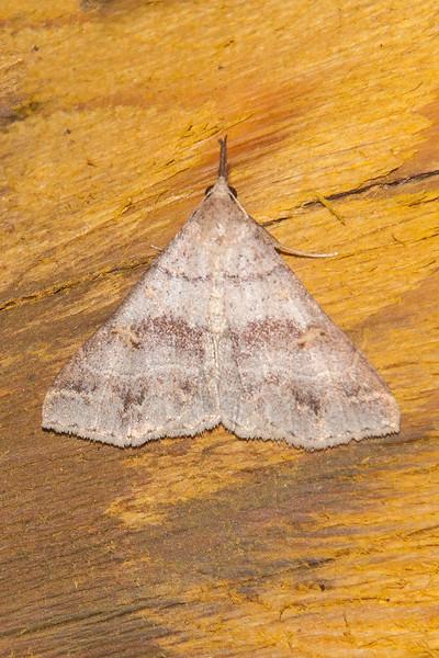 Renia-Yellow-spotted-(Renia flavipunctalis)-Dunning Lake-Itasca County, MN