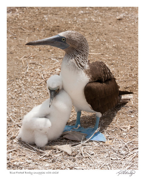 Blue Footed Booby snuggles with child