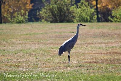Sandhill Cranes Gather