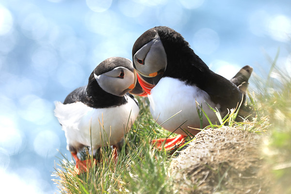 Iceland The Puffin Explorers