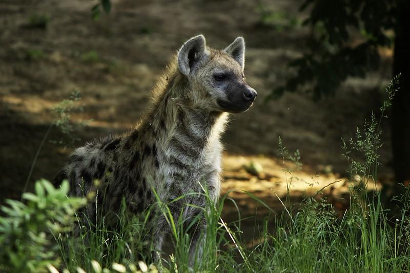 Zatímco se část výpravy občerstvovala, já si povídal s hyenou, která na mě koukala jen asi ze tří metrů (z kopečku za asi metrovou zídkou, menším příkopem a pár keři).