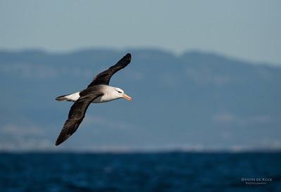 Black-browed Albatross (Thalassarche melanophris) NT