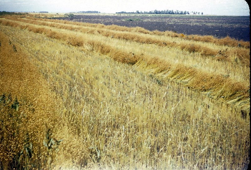 ARS044.  Field during harvest - 1946‡.jpg