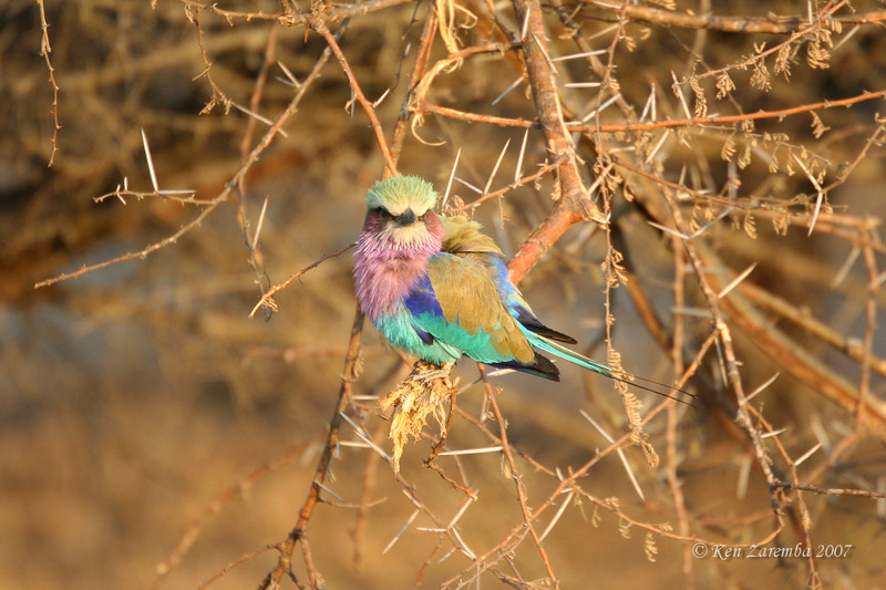 Lilac-breasted Roller, Mala Mala Game Reserve, South Africa