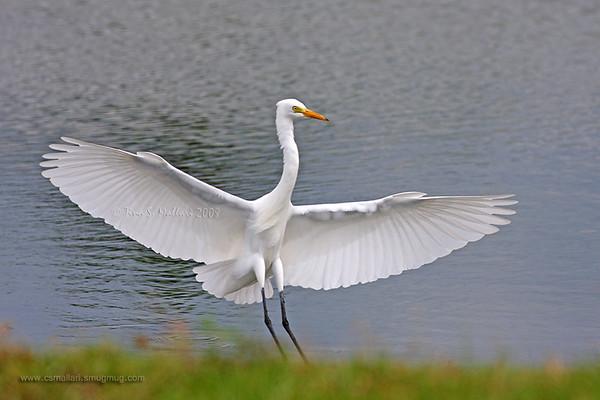 Bitterns, Egrets, Herons - Family: Ardeidae