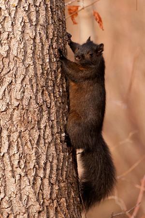 Gray Squirrel - black color morph - Moose Lake - Itasca County, MN