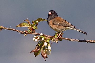Juncos and Towhees
