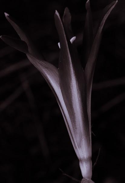 Wild Amaryllis 092114-2.jpg