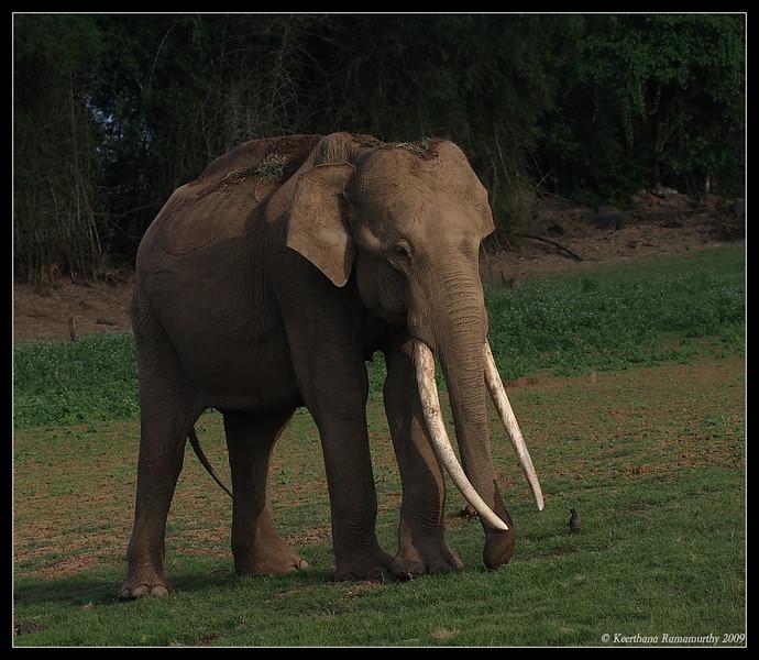 Asian Elephant, Kabini, Mysore, Karnataka, India, June 2009