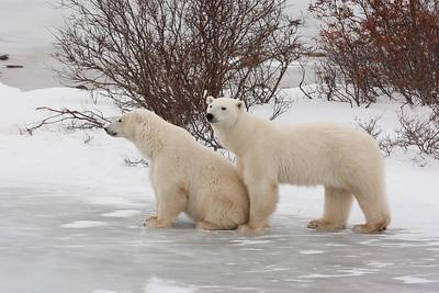 Churchill  Polar Bears Etc.