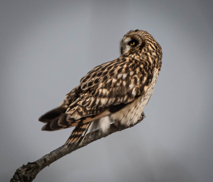 Short-eared Owl looking back
