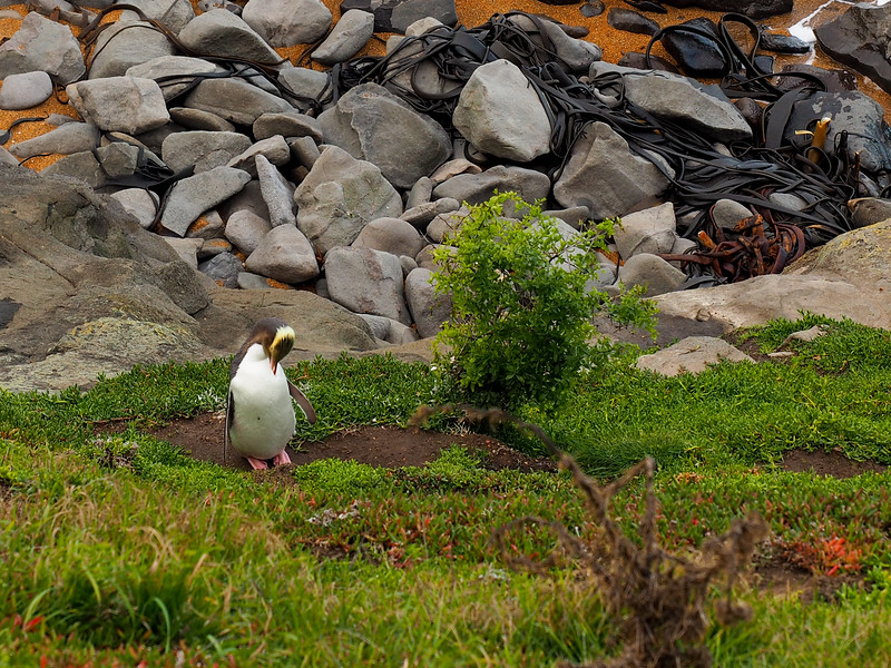Yellow-eyed penguin at Katiki Point